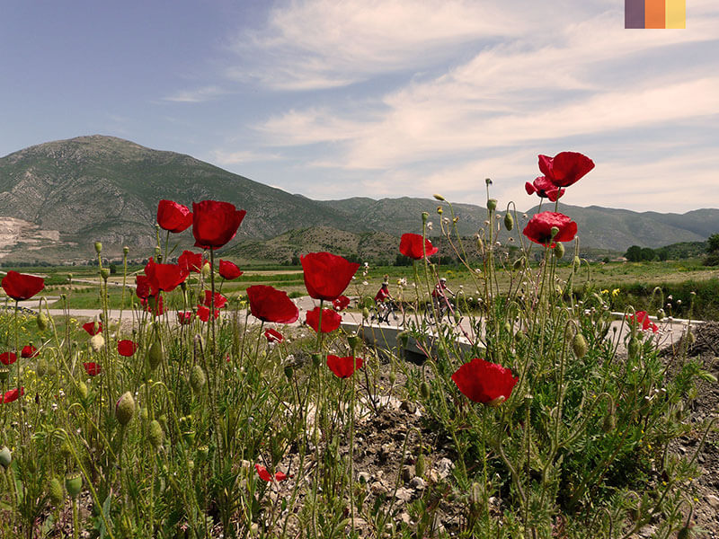Poppys in the foreground and cyclists in the background on a cyclist holiday in Albania