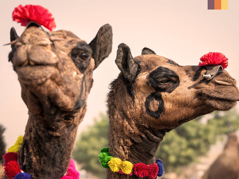 Two camels dressed in traditional Indian