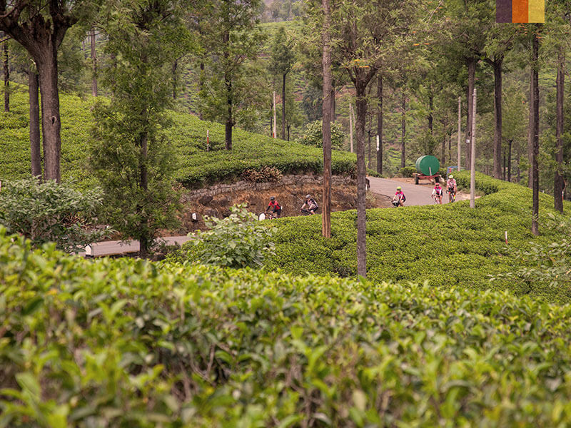 Cyclists on a path through fields of tea  also known as Camellia sinensis in India