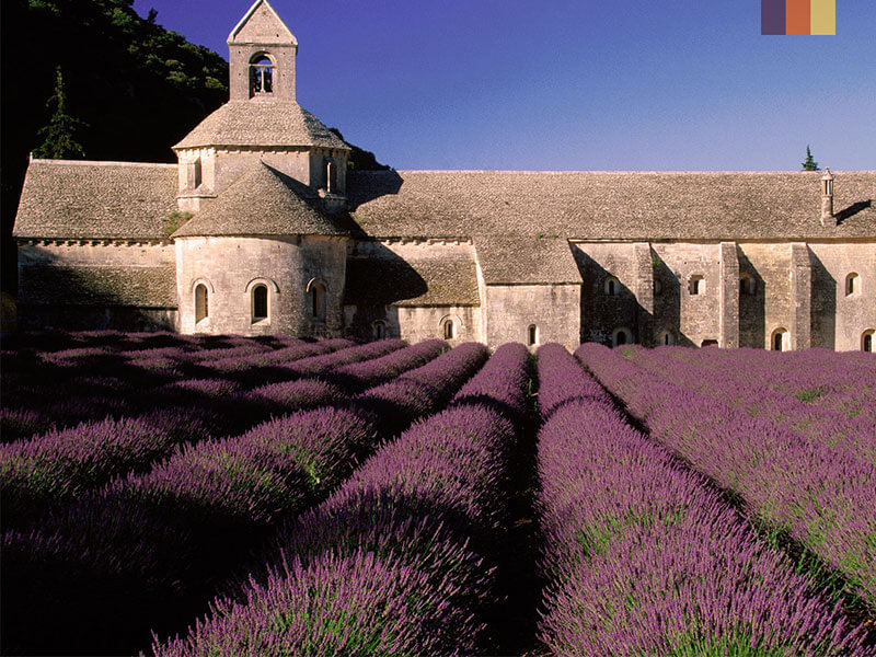 Lavender fields spotted at the Senanque monastery during a cycling holiday