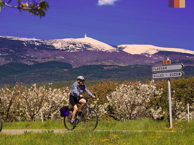 A cyclist riding on the flatlands with lavender fields in the foreground and Mont Ventoux in the background