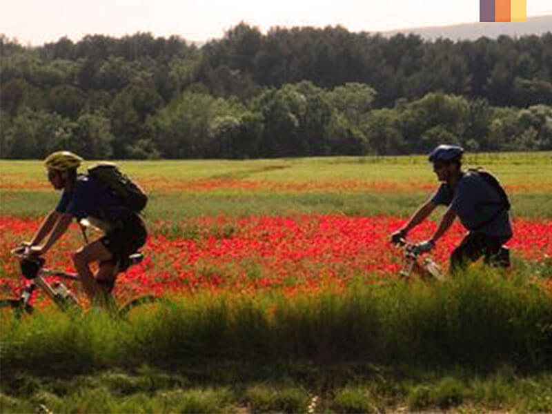 Two cyclists riding through the poppy fields of Holland
