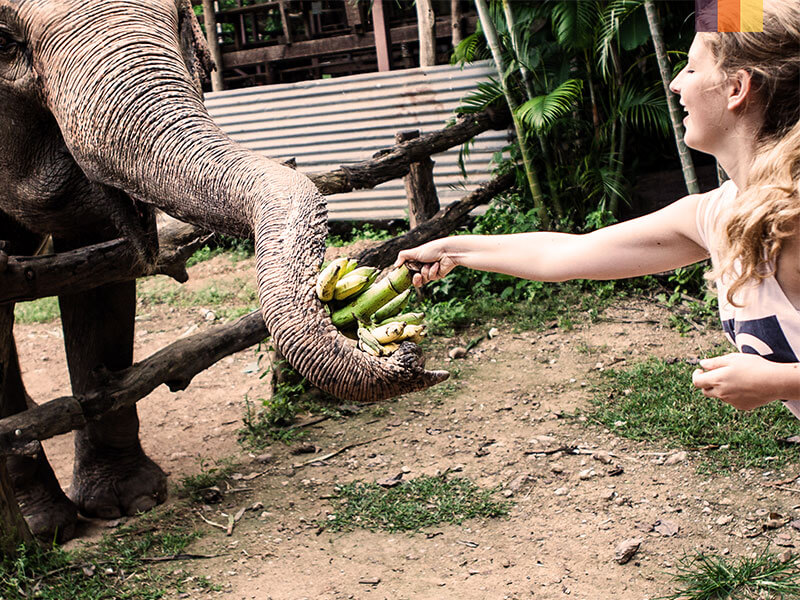 Girl feeding an elephant on a cycling holiday to Chiang Mai