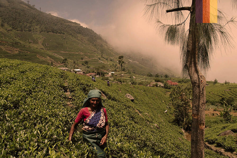 Green tea fields and a local woman
